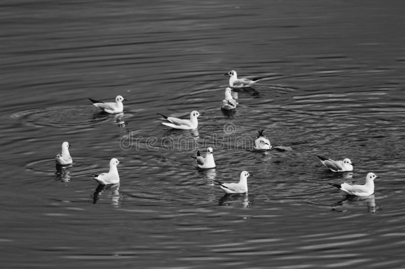 The lovely birds in the river. These birds were swimming in the Lake royalty free stock photo