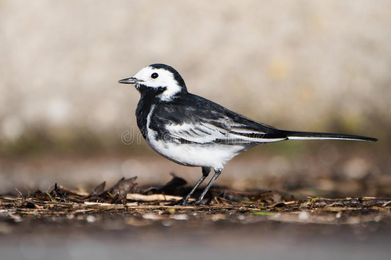 White Wagtail, Pied Wagtails, Wagtails, Motacilla alba. Birds - White Wagtail, Pied Wagtails, Wagtails, Motacilla alba stock photography