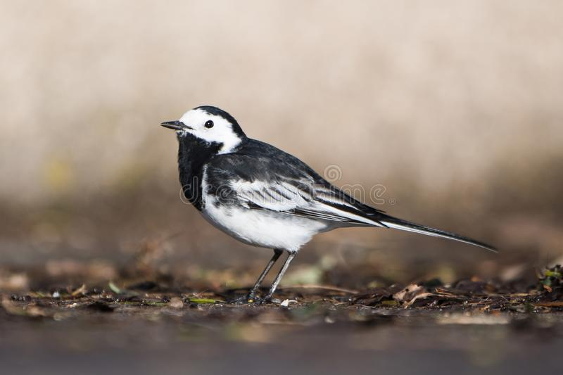 White Wagtail, Pied Wagtails, Wagtails, Motacilla alba. Birds - White Wagtail, Pied Wagtails, Wagtails, Motacilla alba royalty free stock images
