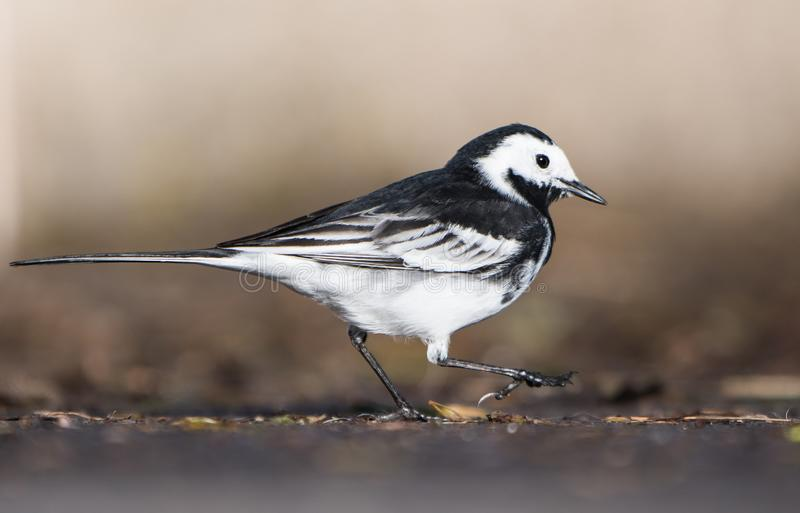 White Wagtail, Pied Wagtails, Wagtails, Motacilla alba. Birds - White Wagtail, Pied Wagtails, Wagtails, Motacilla alba royalty free stock photos