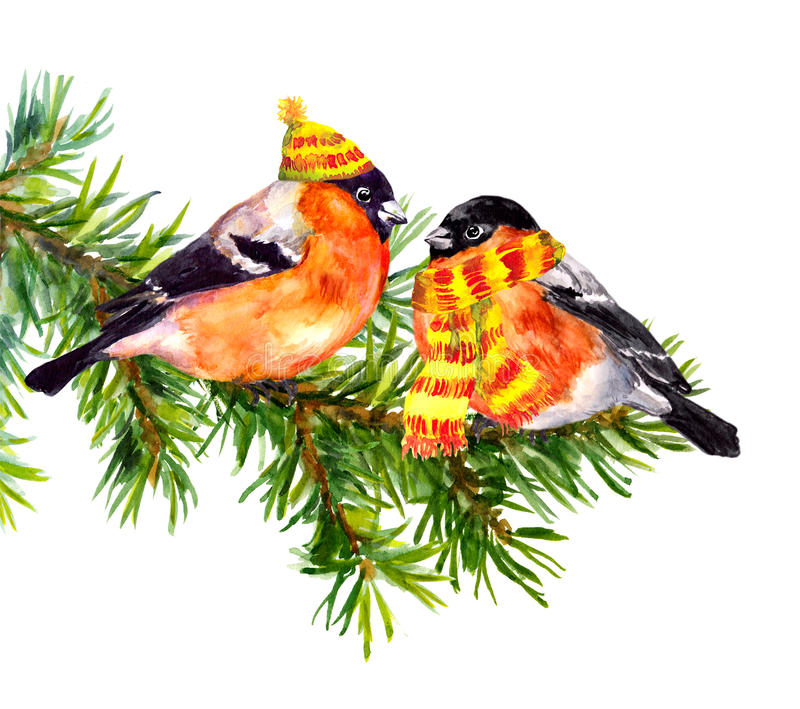 Birds in winter clothes, hat and scarf, on pine xmas tree. Two bullfinch birds in winter clothes - hat and scarf, on pine or spruce tree branch. Watercolor vector illustration