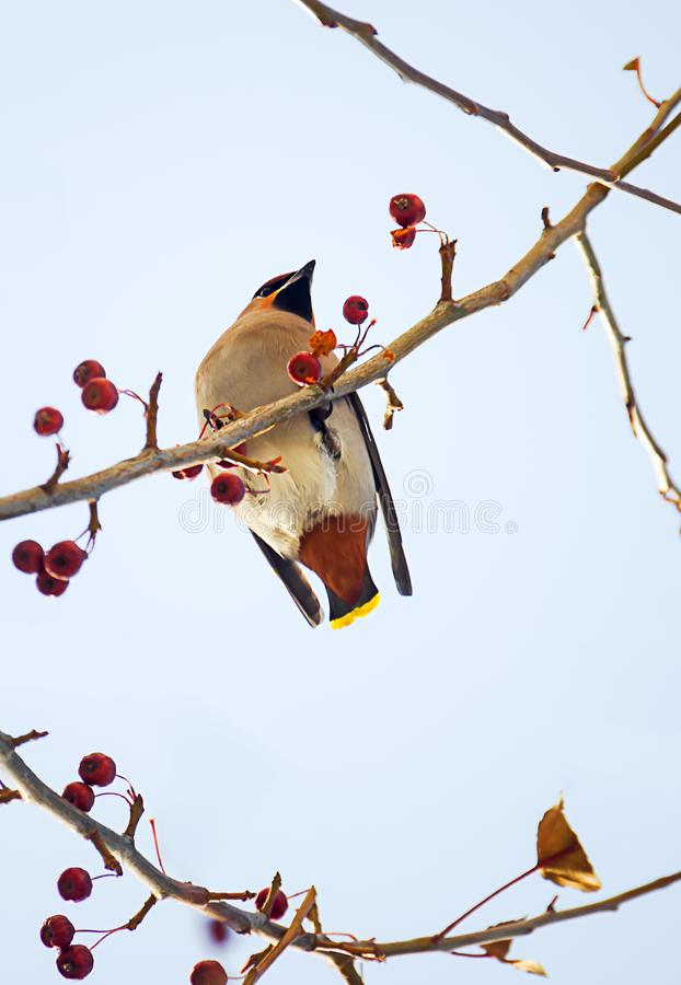 Birds of winter: colorful waxwing eating little red frozen apples from an apple tree branch on a sunny winter day royalty free stock photography