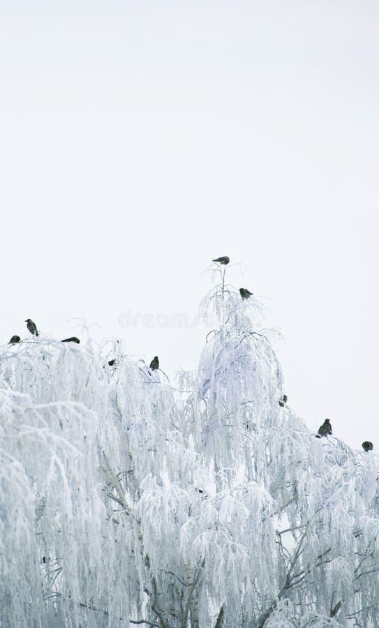 Birds on a wintery tree stock photography
