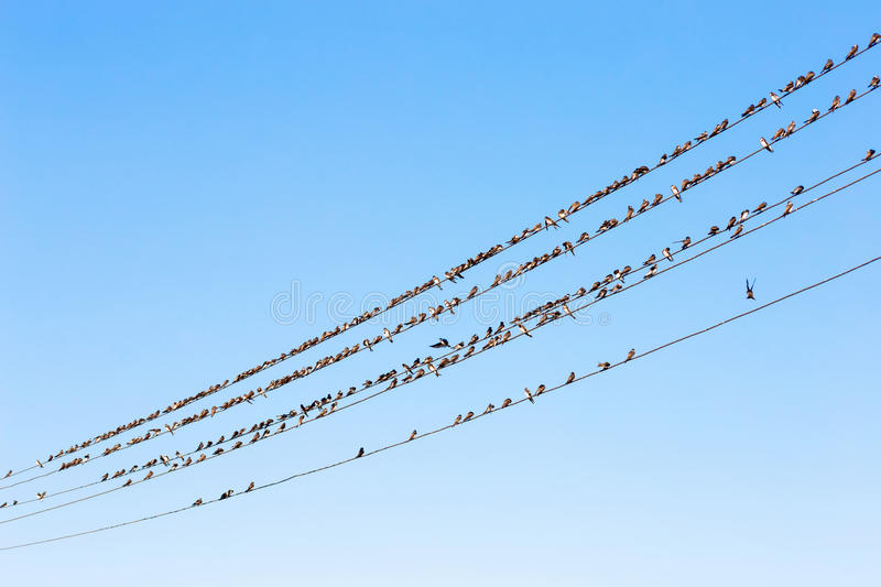 Birds on wires. A lot of birds sitting on wires against a blue sky stock photography
