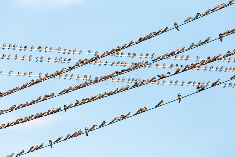 Birds on wires. A lot of birds sitting on wires against a blue sky stock images