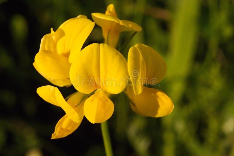 Birdsfoot Trefoil. The tiny Yellow Birdsfoot Trefoil wildflower, golden in setting sunlight. Lotus Corniculatus, Family: Fabaceae royalty free stock images