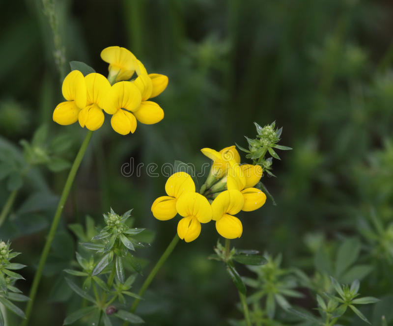 Birdsfoot Trefoil stock photos