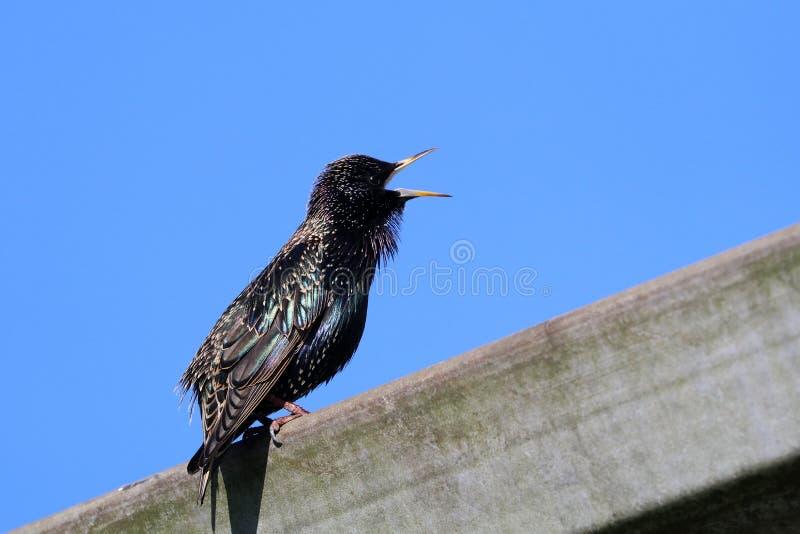 Birdsong de um estorninho foto de stock