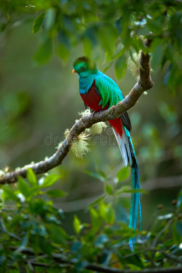 Birdwatching in America. Exotic bird with long tail. Resplendent Quetzal, Pharomachrus mocinno, magnificent sacred green bird from royalty free stock photography
