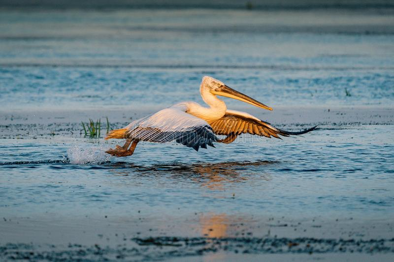 Birdwatching in the Danube Delta. The Great White Pelican (Pelecanidae) flying at sunset royalty free stock image