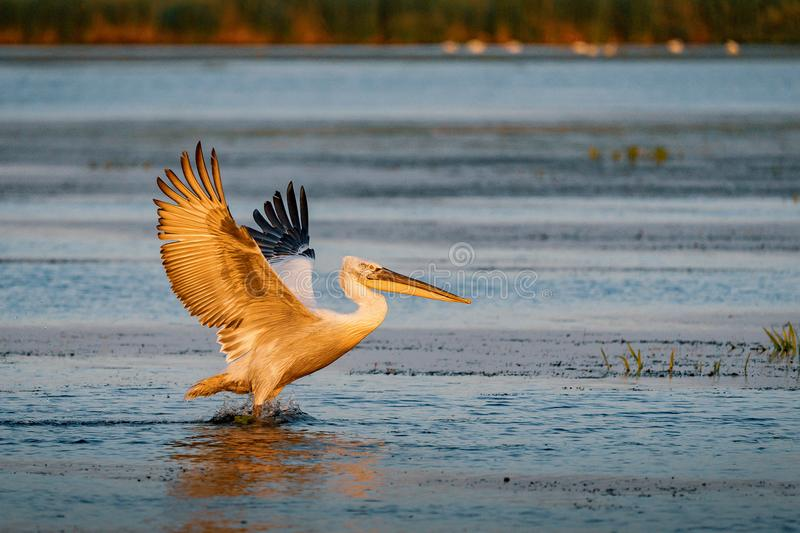 Birdwatching in the Danube Delta. The Great White Pelican (Pelecanidae) flying at sunset stock images