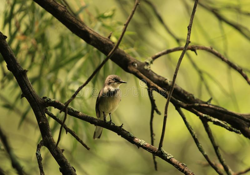 Cute little brown bird on a tree branch stock image
