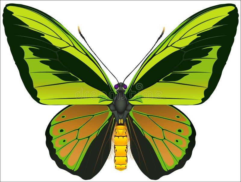 birdwing的蝴蝶巨人 免版税图库摄影