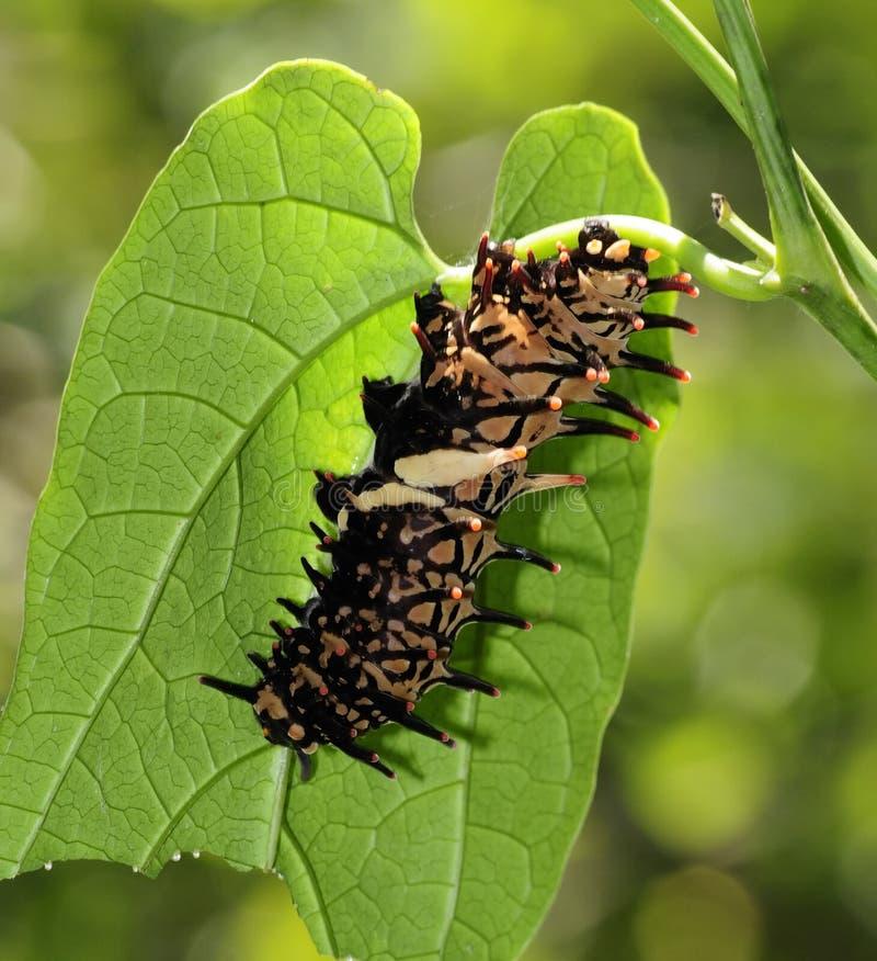 birdwing гусеница бабочки золотистая стоковые изображения rf