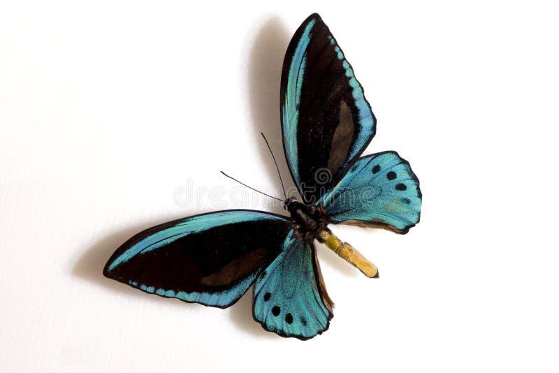 birdwing błękitny ornithoptera priamus urvil zdjęcia stock