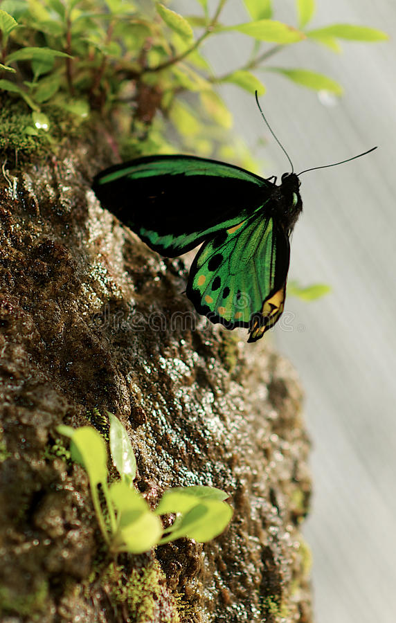Birdwing Butterfly royalty free stock images