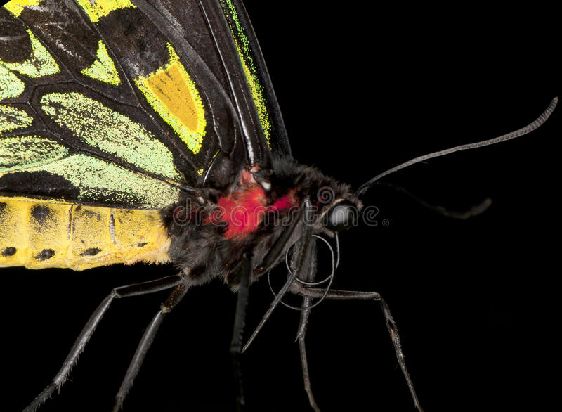 Download Birdwing Butterfly (Extreme Close-up) Stock Photo - Image: 26641072