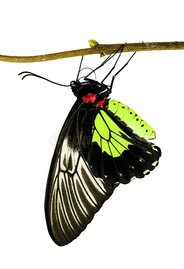 A birdwing butterfly Triodes in lime yellow color on a branch isolated on white. A golden birdwing butterfly, Triodes rhadamantus, is hanging on a tree branch stock photography