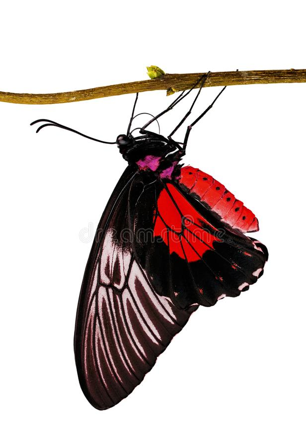 A birdwing butterfly Triodes in red color on a branch isolated on white. A golden birdwing butterfly, Triodes rhadamantus, is hanging on a tree branch, isolated royalty free stock photo