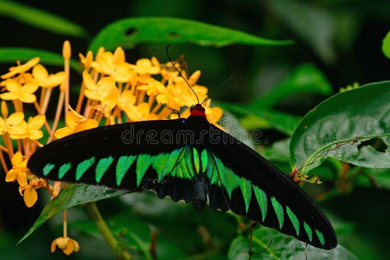 Birdwing de Brooke de raja, Penang photos libres de droits