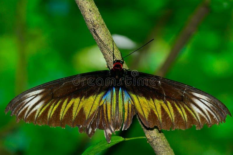Birdwing de Brooke de raja, Penang image libre de droits