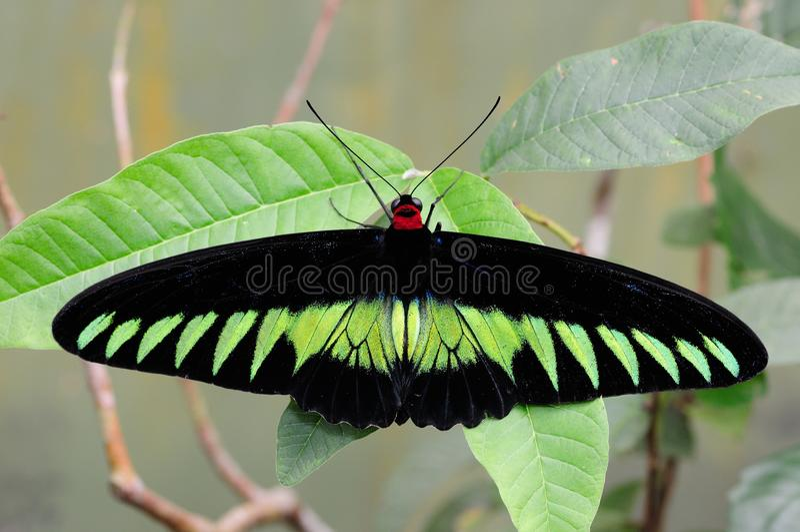 Birdwing de Brooke del rajá imagen de archivo