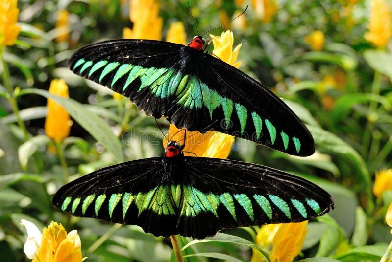 Birdwing de Brooke del rajá fotos de archivo libres de regalías