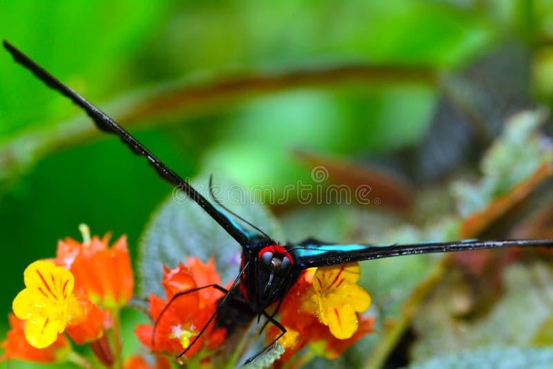 Birdwing de Brooke del rajá, Penang imagen de archivo libre de regalías