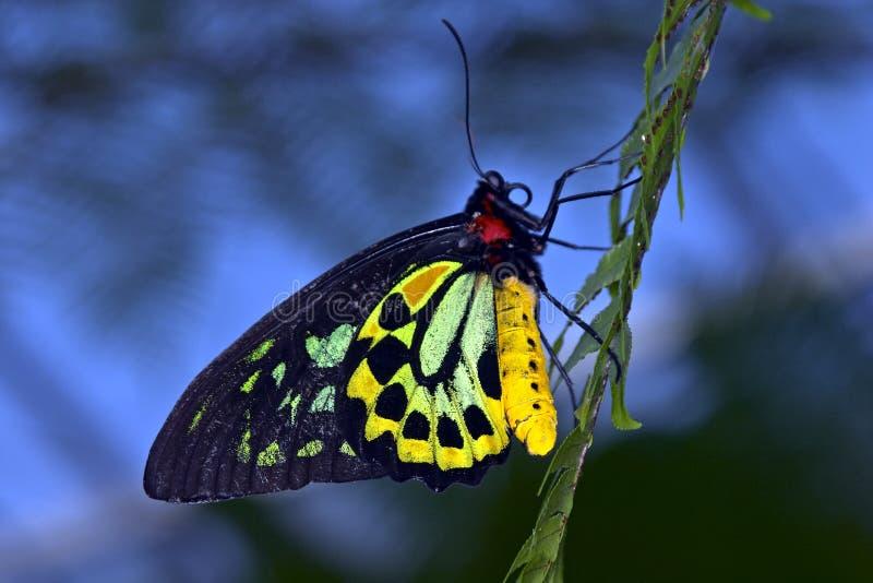 birdwing fjäril fotografering för bildbyråer