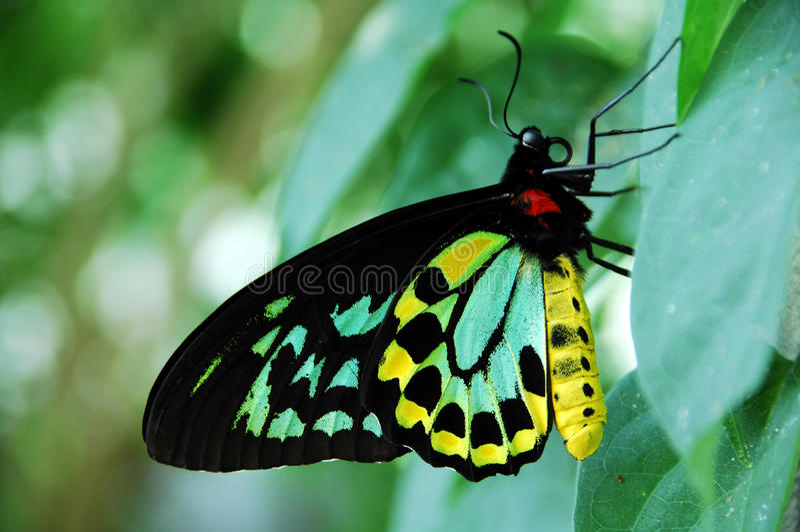 birdwing kopiec fotografia stock
