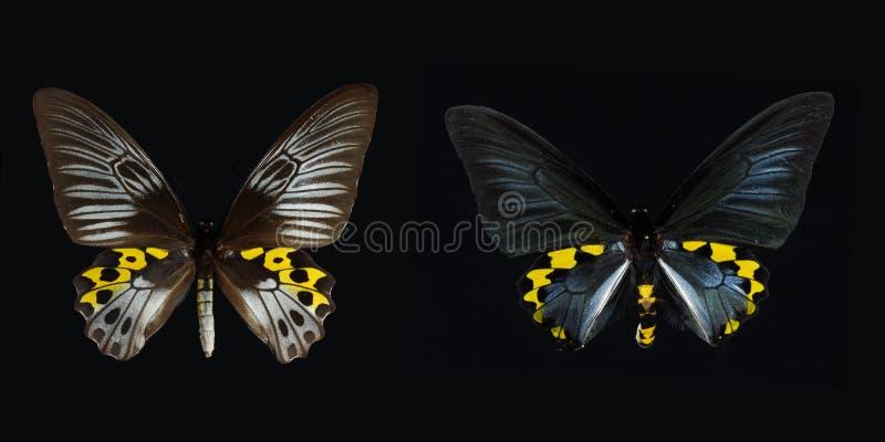 birdwing swallowtail arkivfoton