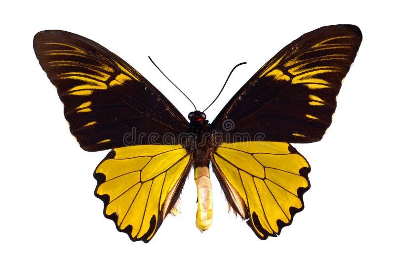 Birdwing swallowtail royalty-vrije stock afbeeldingen