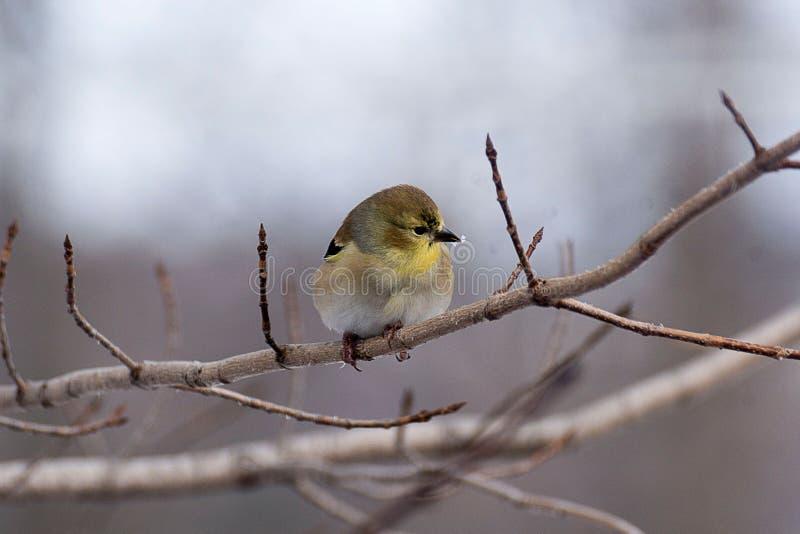 Birdy em um ramo no inverno fotografia de stock royalty free