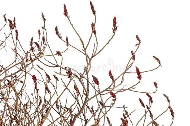 Birght red staghorn sumac flowers on bare winter branches, Rhus typhina stock photos