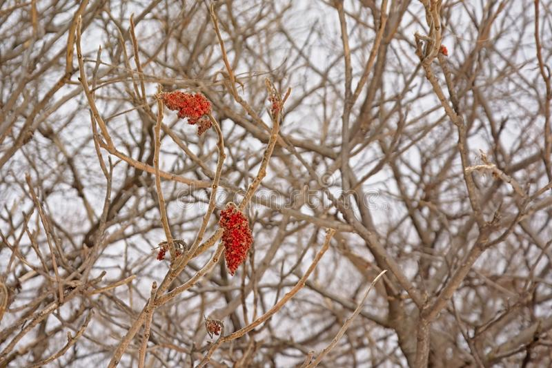 Bright red staghorn sumac flowers on bare winter branches, Rhus typhina royalty free stock photos