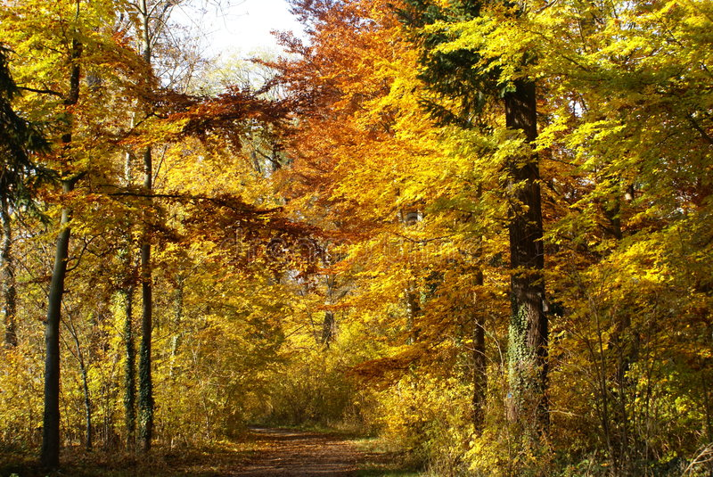 Download Birght Yellow Trees In Autumn Royalty Free Stock Images - Image: 5345139
