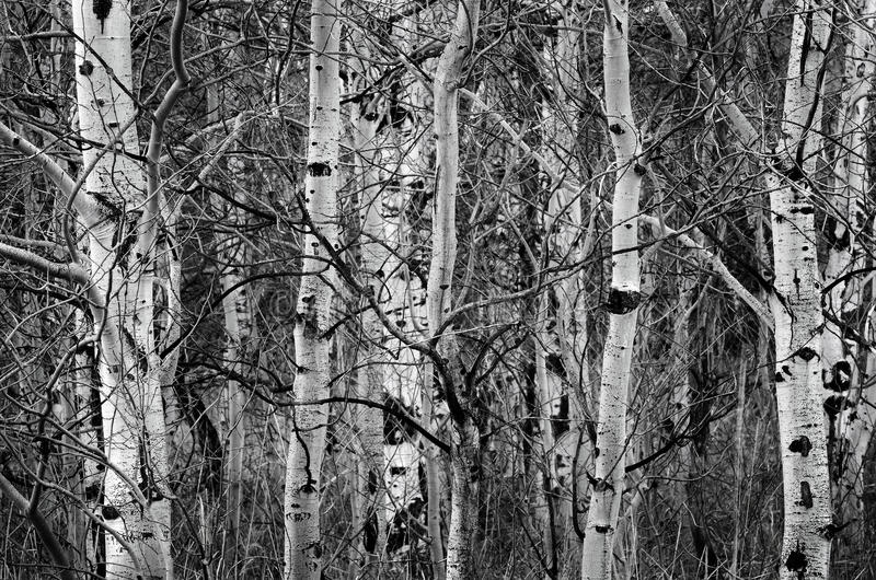 Birke Aspen Trees Herbst-in den bloßen Baum-Stämmen lizenzfreie stockbilder