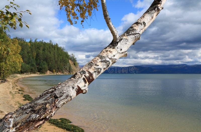 Birke auf Baikal See lizenzfreie stockbilder