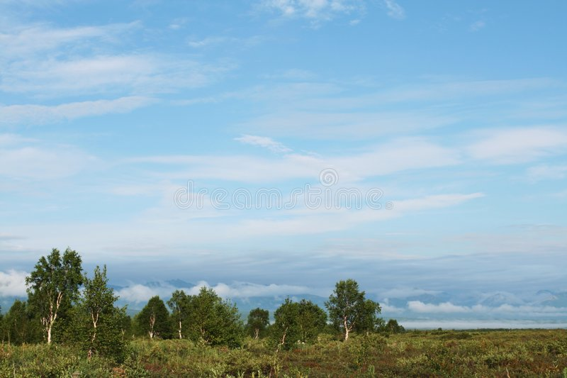 Birke auf Kamchatka stockbilder