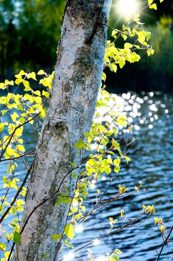 Birke im Frühjahr lizenzfreie stockfotografie
