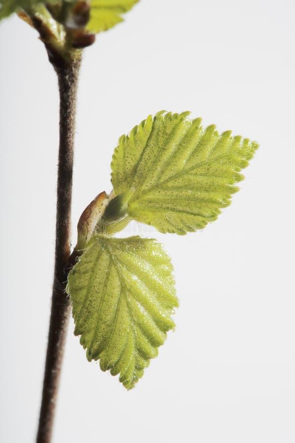 Birke im Frühjahr lizenzfreie stockfotos