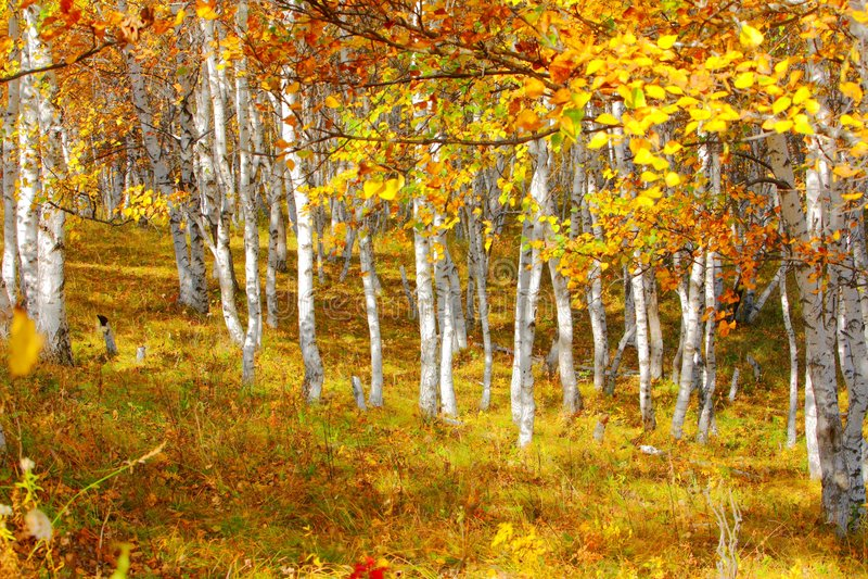 Birke im Herbst lizenzfreies stockbild