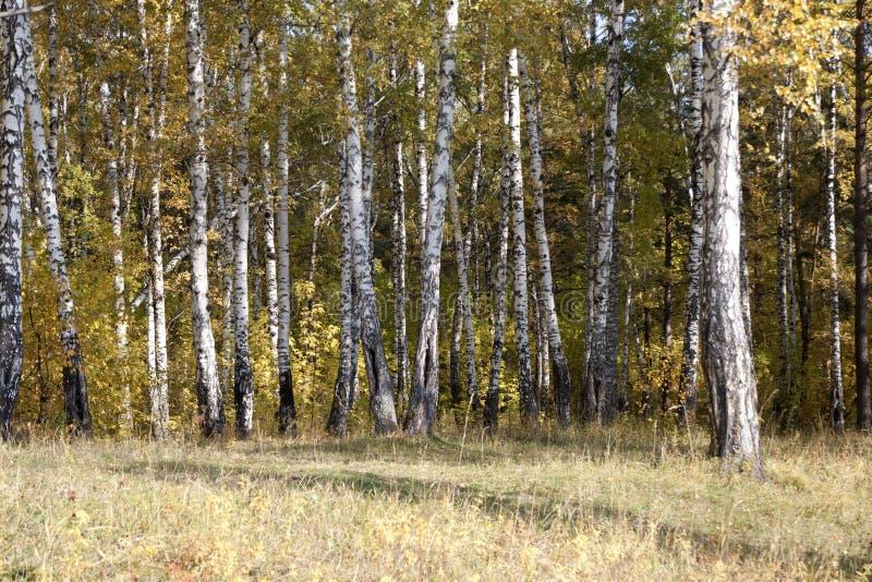 Birke im Herbstwald lizenzfreie stockfotos
