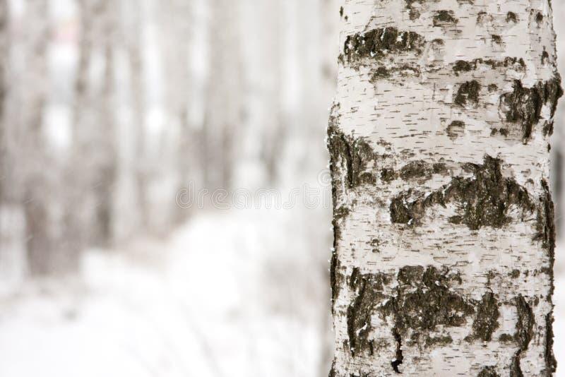 Birke im Winterwald lizenzfreie stockfotos