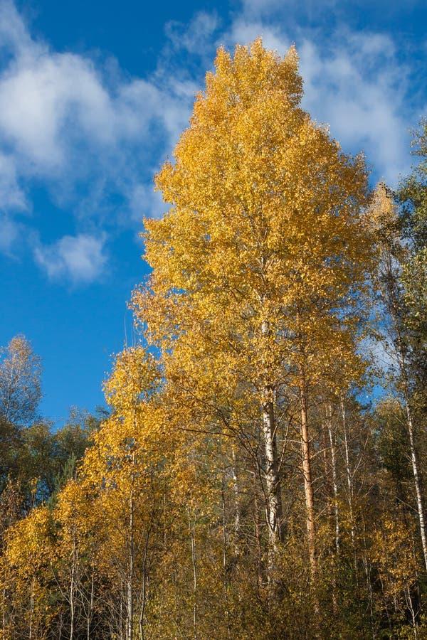 Birke mit Gelbblättern im Wald lizenzfreie stockbilder