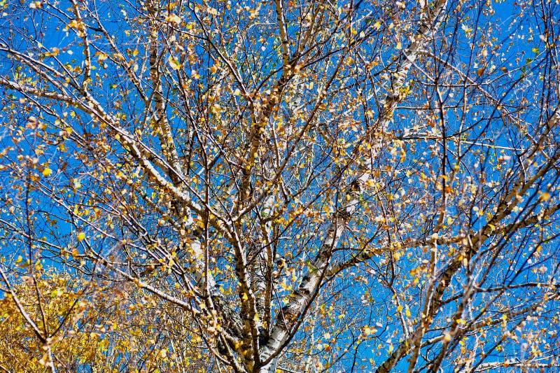 Birke mit gelben Blättern stockfotos