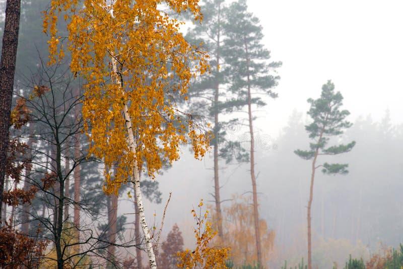 Birke mit gelben Blättern auf einem Hintergrund des Herbstwaldes im Nebel stockfoto