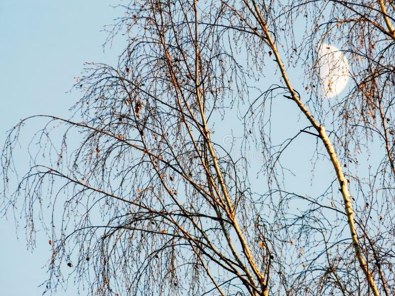 Birken auf dem Hintergrund des Himmels mit dem Mond lizenzfreie stockfotos
