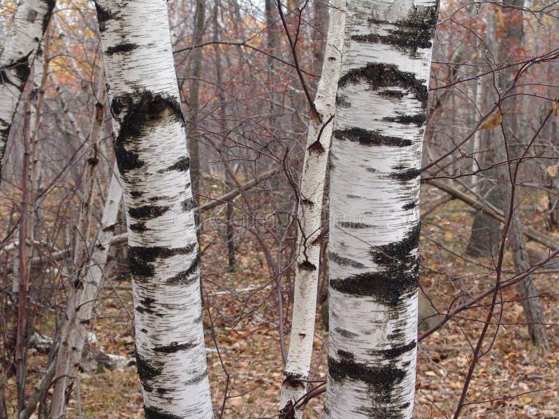 Birken-Bäume stockbild