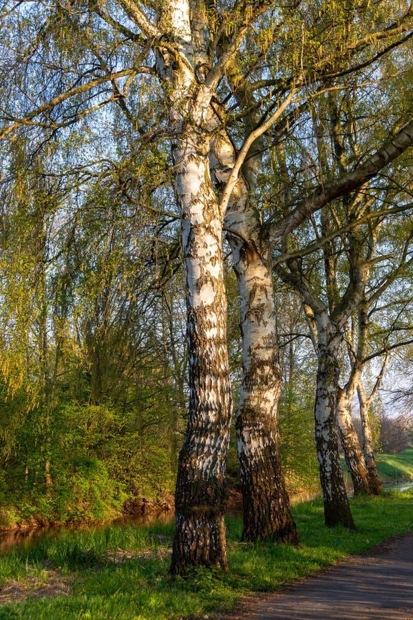 Birken in der Glättungssonne im Frühjahr stockfotografie